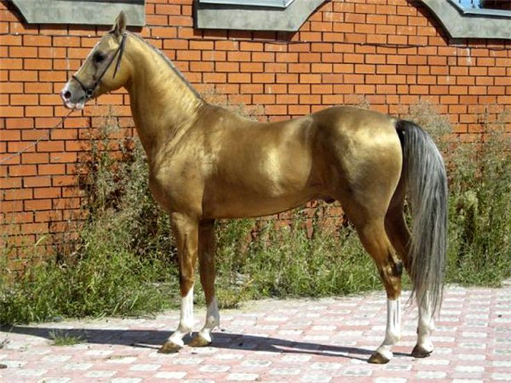 Akhal Teke horse with that amazing metallic coat they have