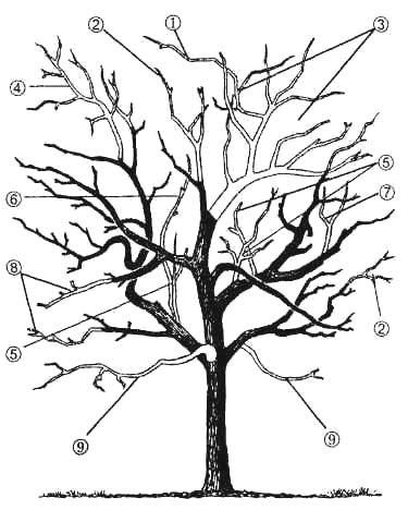 Омолаживающая обрезка кроны взрослого плодоносящего дерева яблони