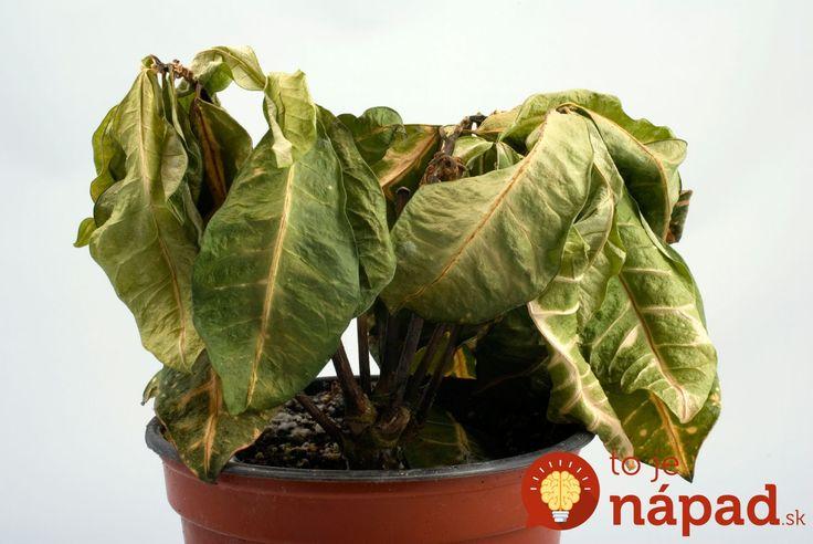 Našli ste izbové rastliny v zúboženom stave? Ak urobíte TOTO, môžete ich zachrániť