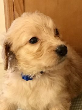 Goldendoodle puppy for sale in SPENCER, NY. ADN-26733 on PuppyFinder.com Gender: Female. Age: 9 Weeks Old