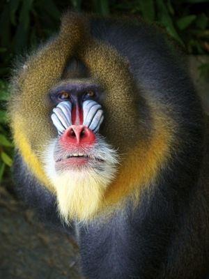 Mandrillus sphinx ... Mandrill Baboon Monkey