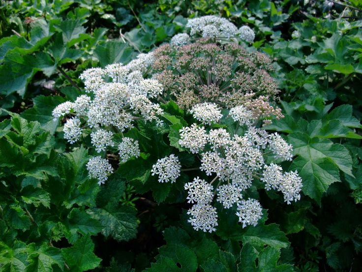 HERBAL PICNIC: COMMON HOGWEED / COW PARSNIP Hogweed said to be able to break the power of fairies over a child.