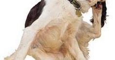 Cómo curar la dermatitis en el perro. Si tu perro se rasca y se mordisquea constantemente puede tener una dermatitis. La dermatitis es un término amplio que se refiere a la picazón inflamatoria de la piel. Puede ser crónica o temporaria, y puede ser causada por el medio ambiente del perro (como la sensibilidad al pasto), alergias (como ser alérgico a las pulgas), una bacteria o virus, ...
