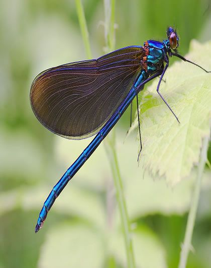 I have seen one similar to this...irridescent turquoise body with jet black wings...beautiful!