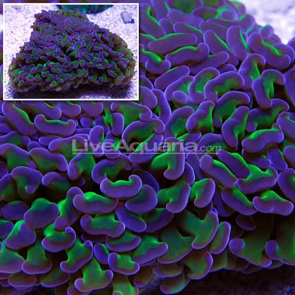 Purple and glowing green hammer coral