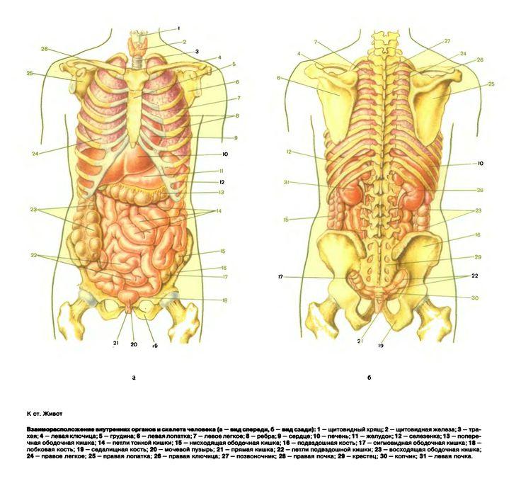 Картинка внутренние органы человека с надписями женщина