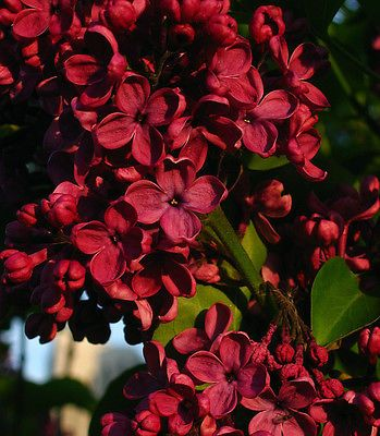 Fragrant Flowering Tree Red French Lilac Potted Plant: Plants Can ...