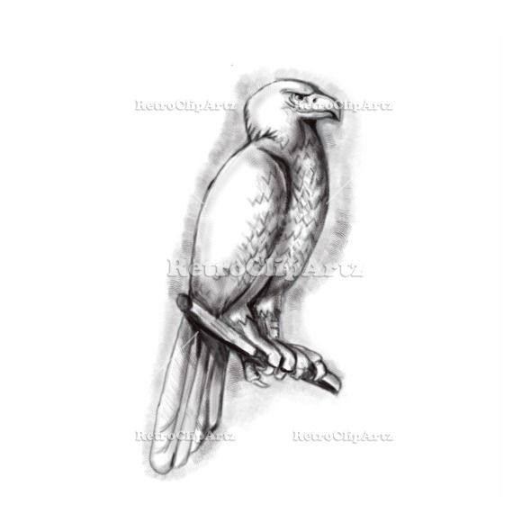 Australian Wedge-tailed Eagle Perch Tattoo Vector Stock Illustration.  Tattoo style illustration of an Australian wedge-tailed eagle or bunjil Aquila audax, sometimes known as the eaglehawk, the largest bird of prey in Australia perched on a branch viewed from the side set on isolated white background. #illustration #AustralianWedge-tailedEagle