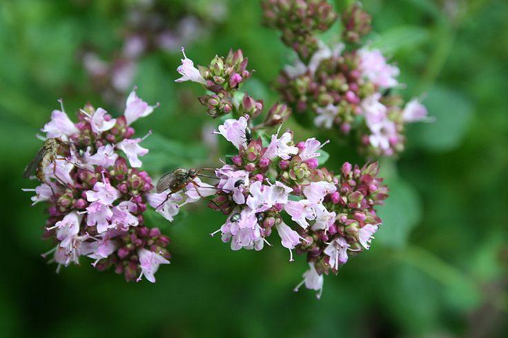 Dost/Oregano - Origanum vulgare Andere Namen : Wilder Majoran, gemeiner Dost, Bergminze, Wilder Balsam, Dosten, Wohlgemut Der wilde Dost ist eine sehr alte Arzneipflanze. Oregano, Majoran und Dost ist alles ein und die selbe Pflanze. Ebenfalls ist er gute Honigpflanze. Im Mittelalter sagte man, das die Blüten magische Kräfte haben, um Hexen und Dämonen abzuwehren. Man hielt den angeblichen […]