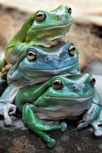 ~~Leapfrog: Jabba, pictured at the bottom of the tree frog stack, appears to be giving a lift to his two lazy friends Freddo and Kermit by Jay Town~~
