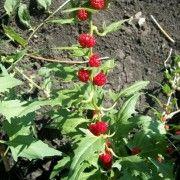 Шпинат земляничный. Уход и выращивание шпината.