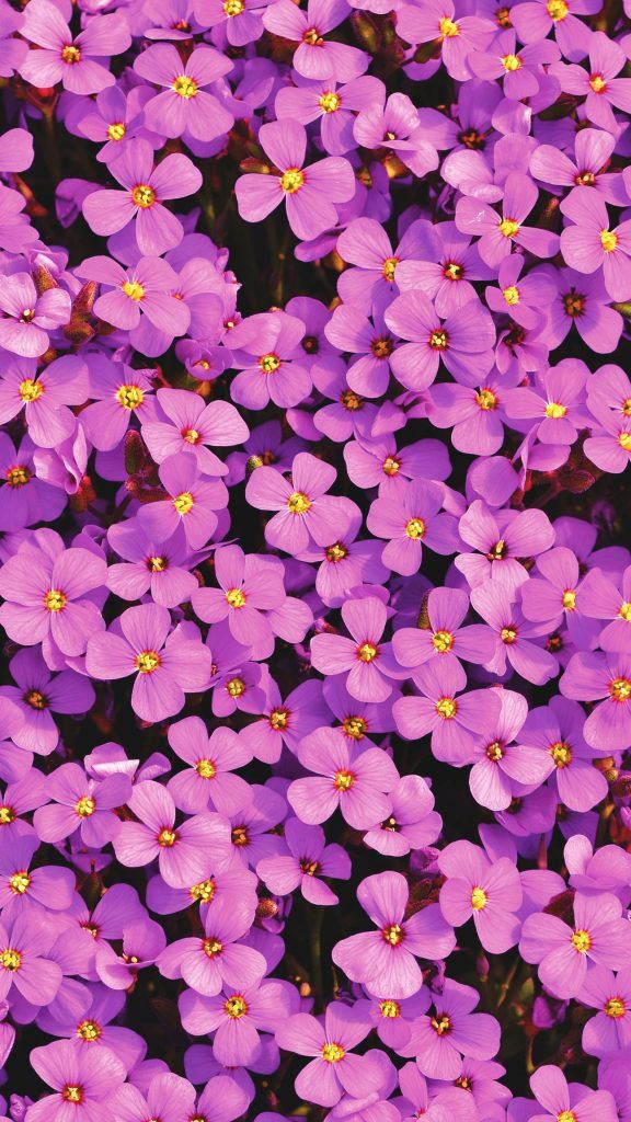 Purple Aubrieta Flowers Em 2020 Wallpapers Paisagens Papel De