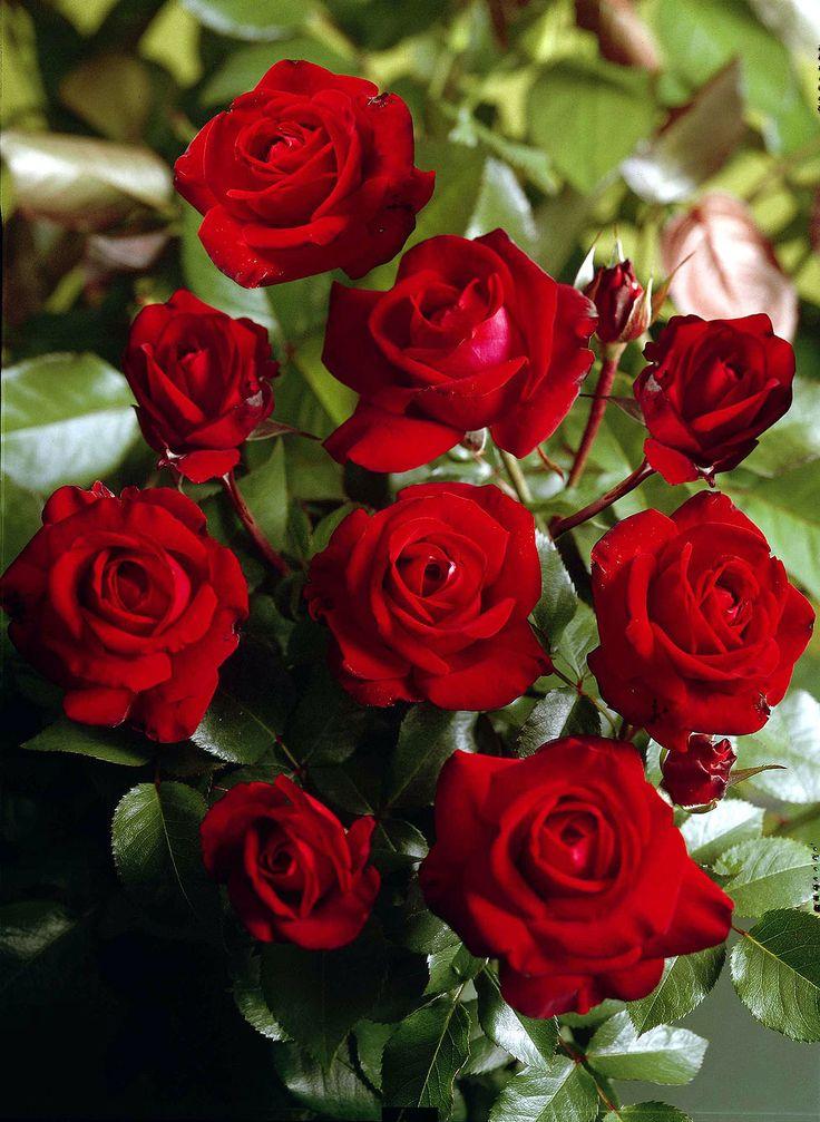 Rosen in Rot / Roses in Red - Lübecker Rotspon