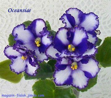 Oceanside (Sorano)     Крупные темно-синие с гофрированными краями цветы с широкой белой полосой по центру каждого лепестка. Средне-зеленая волнистая листва. Стандарт.