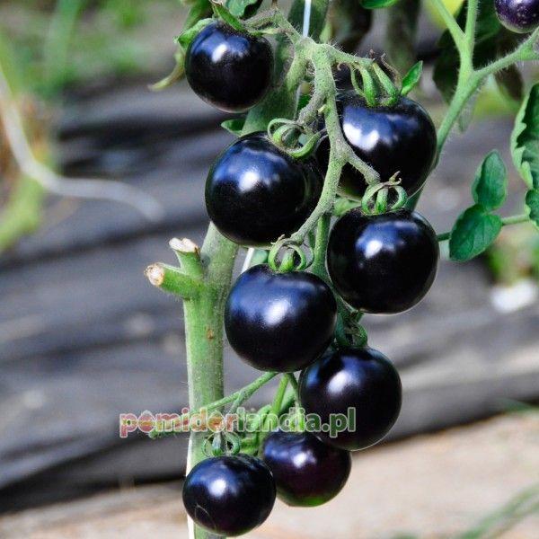 Pomidorlandia.pl Pomidor Indigo Rose
