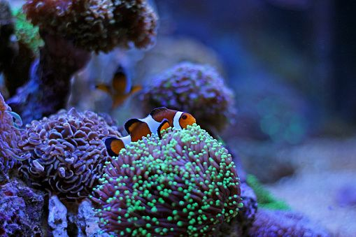 Real nemo in coral reef aquarium #reeftank #reefer #coralreeftank #allmymoneygoestocoral #nature #fishporn #fishes #fishtank #nemo #photography #underwaterphotography #underwater #underwaternature #nature #stockphoto #aquarium #aquatic #aquariumtank #reeftank #reefer #coralreeftank #coral #corals #coralphotography #aquariumphotography #fishtankphotography #fishphotography