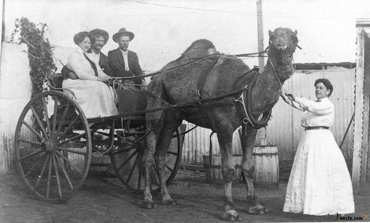 Camel cart in Australia 1900