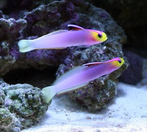962 best images about salt water and tropical fish on for Best saltwater fish for beginners