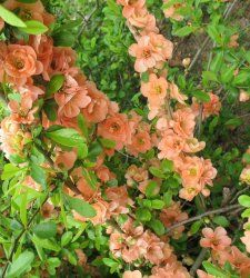 Cameo Japanese Flowering Quince - 3 Pack