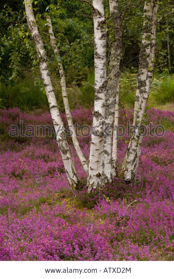 Silver birches (Betula pendula) on heathland, Sologne, France, Europe Stock Photo