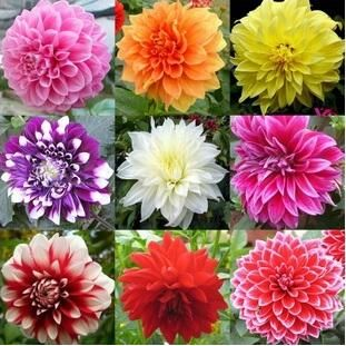 100pcs Dinner Plate rainbow Dahlia seeds, flower seeds many colors to choose, for home garden plantting,Feer shipping