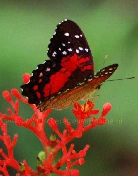 67 best images about suriname door een rode bril on pinterest scarlet char siu and jamaica. Black Bedroom Furniture Sets. Home Design Ideas