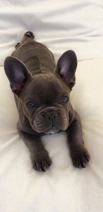 Best 25+ Baby french bulldog ideas on Pinterest | Blue