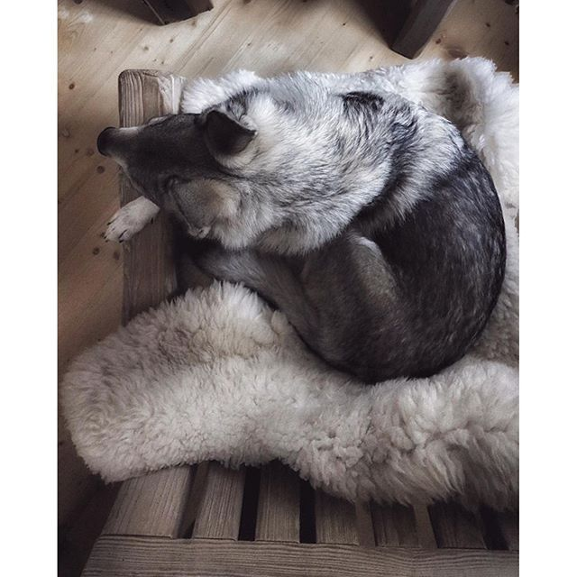 Sleepy moments in the cabin, Maya fell in love with sheep a fur / skin, been sleeping there every day. She loved it so much I ended up buying two of these up in the mountains!  www.travelwithmaya.com #travelwithmaya #hikingwithdogs #stayandwander #cabin #czechoslovakianwolfdog #lifeofadventure #adventurethatislife #camping #campingwithdogs #cabinlife #czechoslovakianwolfdog #lifeofadventure #adventurethatislife #wolfodg #dog #wolf