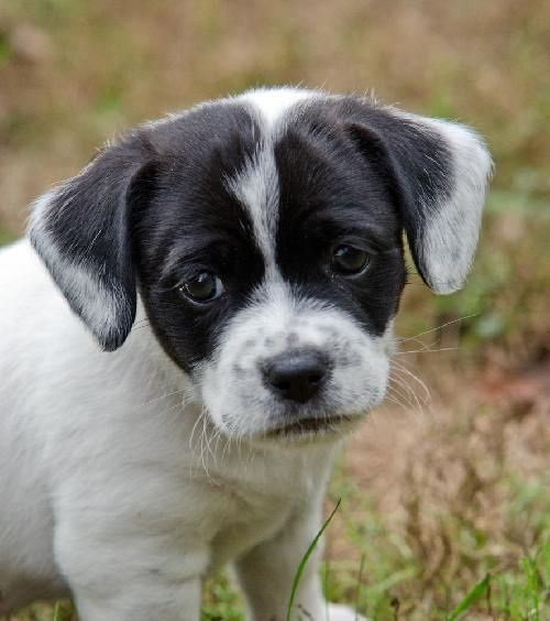 Puggle Puppy :)  never seen these colors before