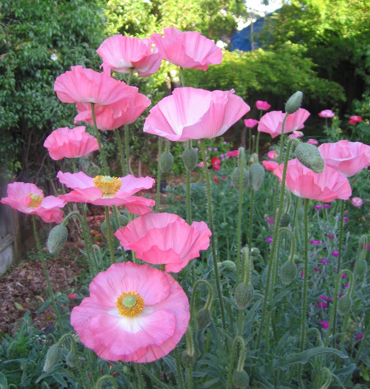 Bought some mixed poppy seeds and I couldn't be more pleased.  I'll save seeds for next year.