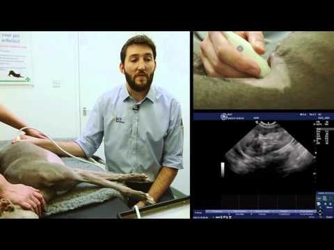 BCF Technology Small Animal Advanced Abdominal Ultrasound Video 3 – Left Adrenal…