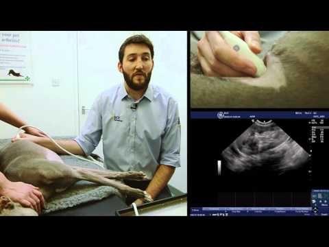 BCF Technology Small Animal Advanced Abdominal Ultrasound Video 3 – Left Adrenal…