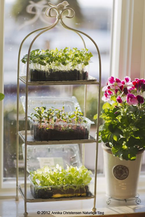indoor gardening - sprouts in the house