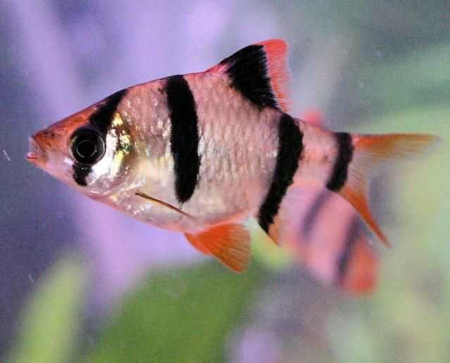 93 best images about aquarium on pinterest cichlids for Tiger barb fish