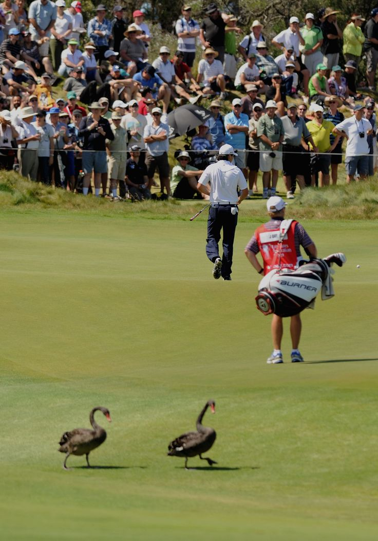 Black swans seen onto the green during the Australian Open Golf Tournament in…