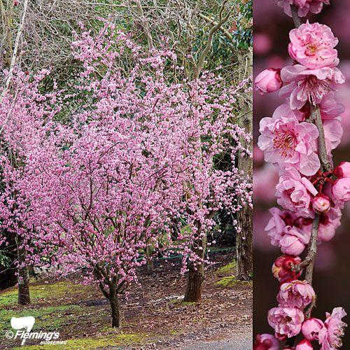 Prunus Blireana Flowering Plum Tree Trees To Plant Potted Trees