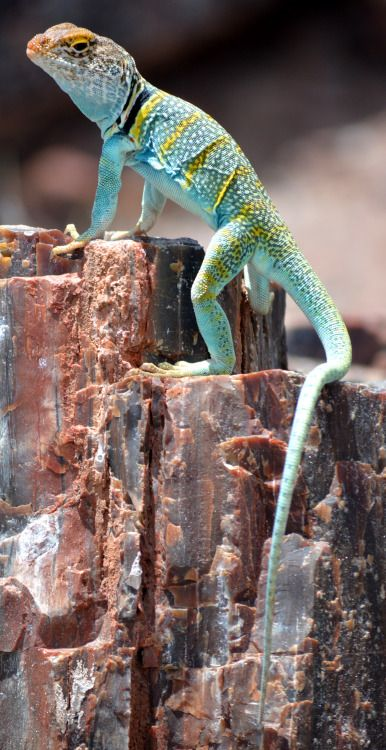 Common collared lizard (Crotaphytus collaris ♂), at Petrified Forest National Park, Arizona. These critters are so colorful, and such calm and unperturbed photographic subjects. They may appear here again before my summer adventure is done.