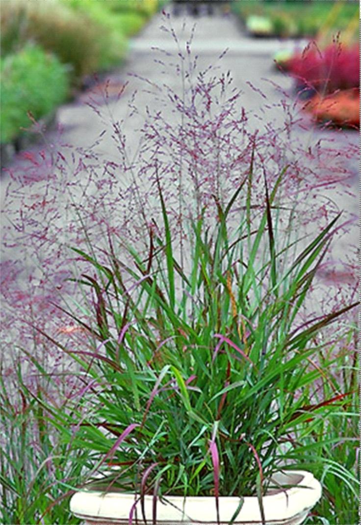36 best panicum switchgrass images on pinterest for Outdoor tall grass plants