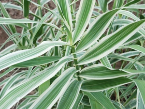 Ornamental Grasses Zone 7 56 best va zone 7 gardening images on pinterest gardening arundo peppermint stick is a fast growing ornamental grass for clay or sand one of workwithnaturefo