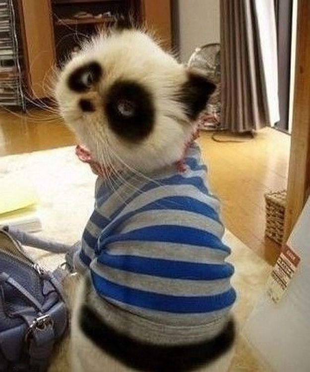 Panda cat!! I've never wanted a cat but I want this more than anything I have ever seen in my whole life