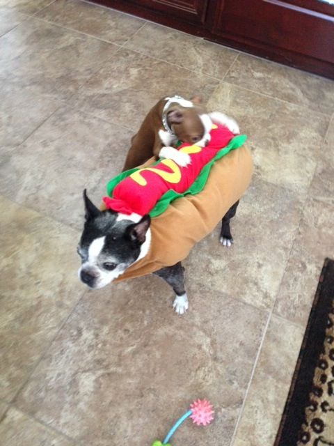 our 2013 boston terrier halloween costume contest starts now - Halloween Costumes In Boston