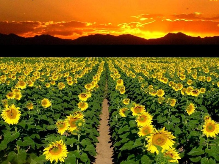 sunflowers at sunset: Angles Sun Flowers Butterfly, Field Of Sunflowers, Sunrise Sunset Moon, Sizzling Sunflowers, Beautiful Sunsets, Sunflowers Galore, Back Yard, Ian S Sunflowers, Sunsets Sunrise