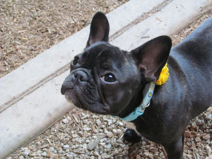 Olive is a seventh monthold French bulldog from Hillsboro