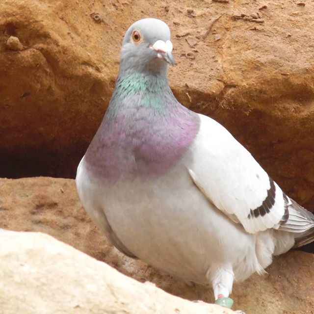 A #pigeon at #filey on the #yorkshire coast