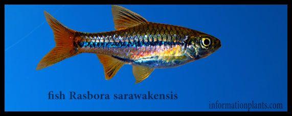 راسبورة كامنة Rasbora Cryptica قسم انواع الاسماك انواع الاسماك انواع الاسماك مع الصور معلوماتية نبات حيوان اسماك فوائد Fish Fish Pet Animals