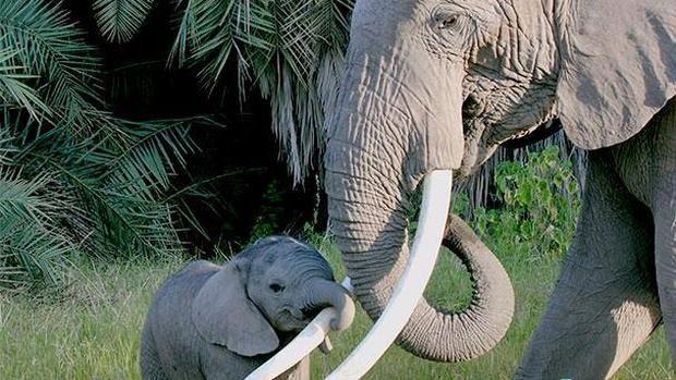 Elefantes africanos Elefante africano: la caza furtiva refuerza su estructura social Las matriarcas moldean el comportamiento de sus hijas para que toman el relevo cuando éstas falten