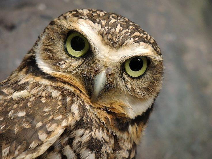 Borrowing Owl | Florida Evergades Tours | May 5, 2015