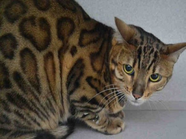 Adopt Tango On Cats And Kittens Bengal Cat Kittens