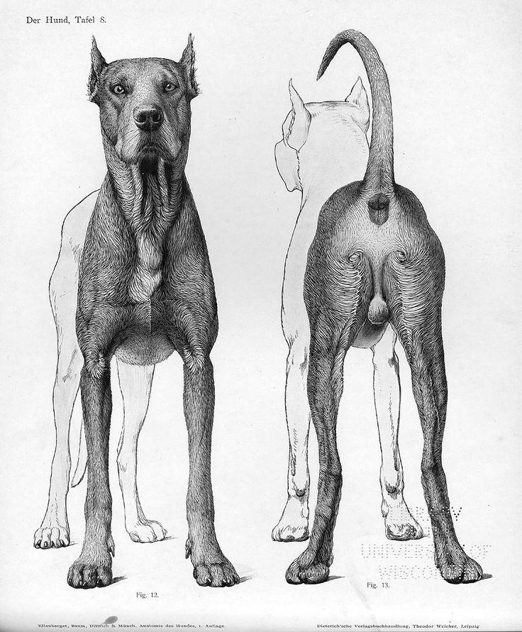 9 best Dog Anatomy images on Pinterest | Animal anatomy, Dog anatomy ...