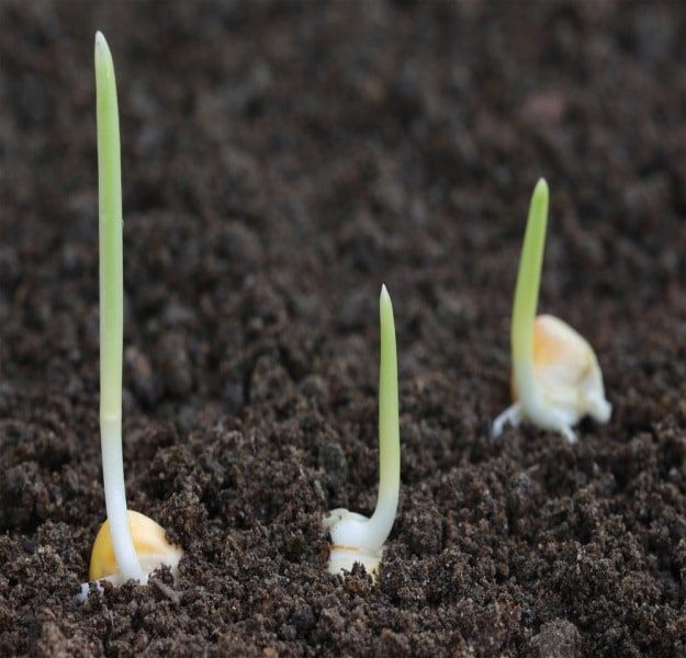 Planting | How To Grow Rainbow Corn | Glass Gem Corn